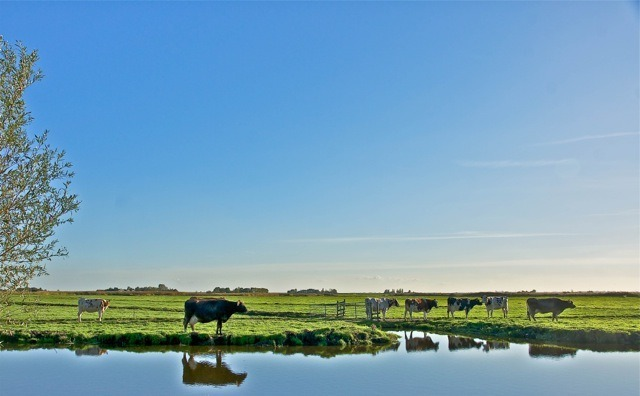 Dutch landscape IV, cows | ZEISS ZA VARIO-SONNAR DT F3.5-F4.5 16-80MM <br> Click image for more details, Click <b>X</b> on top right of image to close