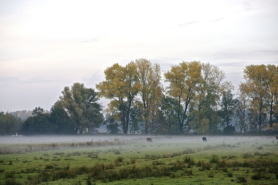 Cows in the fog, Amsterdamse bos | LENS MODEL NOT SET <br> Click image for more details, Click <b>X</b> on top right of image to close