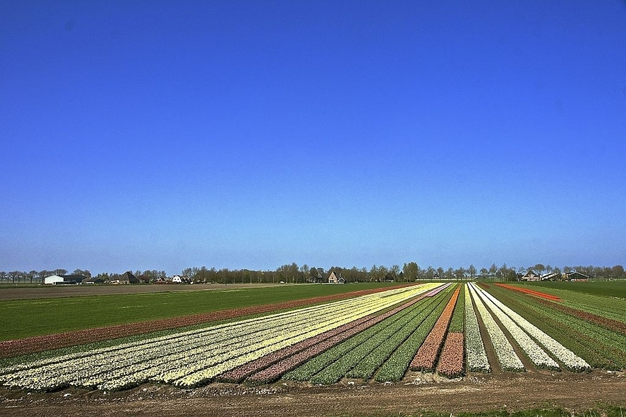 Dutch landscape: bulb fields | LENS MODEL NOT SET <br> Click image for more details, Click <b>X</b> on top right of image to close