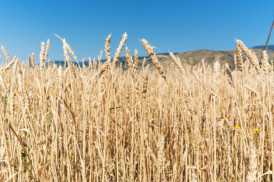 Triticum | ZEISS 25MM F2 DISTAGON <br> Click image for more details, Click <b>X</b> on top right of image to close