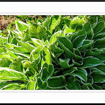 Hostas - in and out of the sun | ZEISS VARIO-SONNAR 24-120MM F2.8-4.8 <br> Click image for more details, Click <b>X</b> on top right of image to close