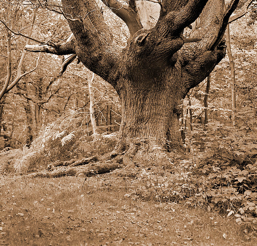 Toned : Ancient Oak | ZEISS CFE PLANAR 80MM F2.8 <br> Click image for more details, Click <b>X</b> on top right of image to close
