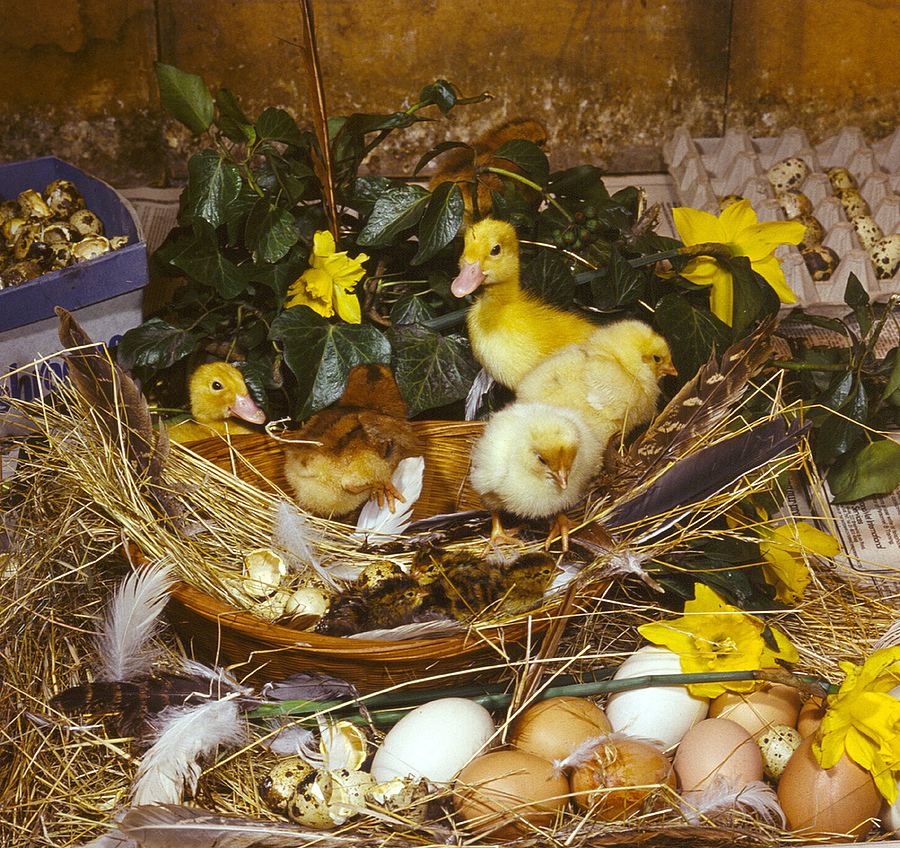Easter Chicks | ZEISS JENA BIOMETAR 80MM F2.8 <br> Click image for more details, Click <b>X</b> on top right of image to close