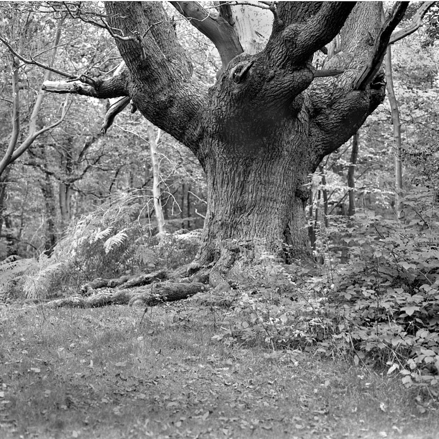 Ancient Oak | ZEISS CFE PLANAR 80MM F2.8 <br> Click image for more details, Click <b>X</b> on top right of image to close