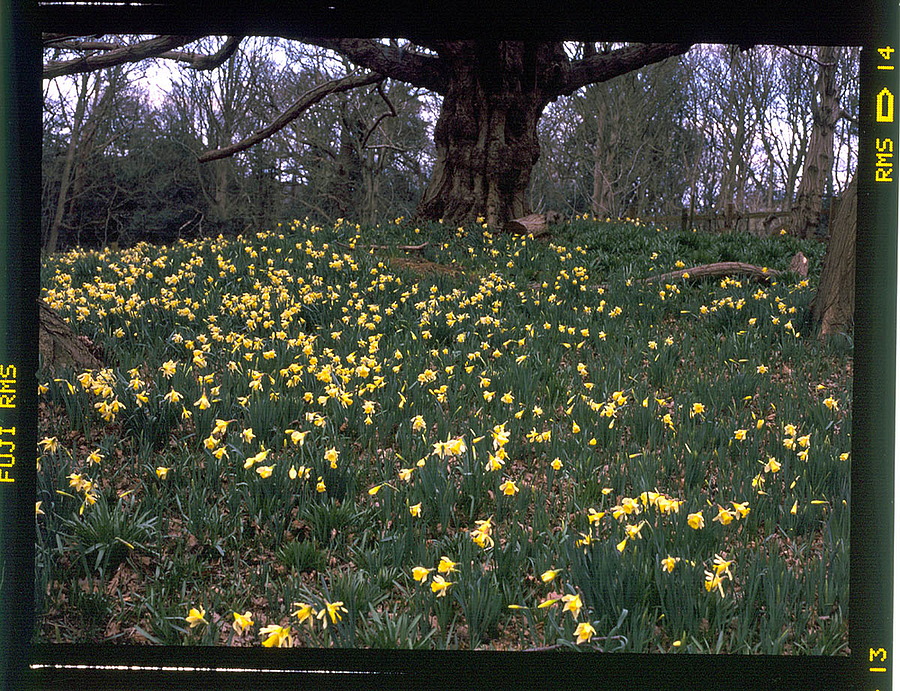 Bank of Daffodils | ZEISS CF DISTAGON 4/50 <br> Click image for more details, Click <b>X</b> on top right of image to close