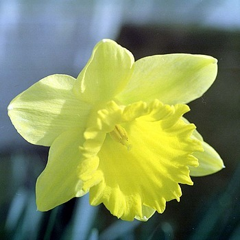 Daffodil | ZEISS JENA BIOMETAR 80MM F2.8 <br> Click image for more details, Click <b>X</b> on top right of image to close