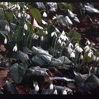 Snowdrops | ZEISS CFI SONNAR F4 180MM <br> Click image for more details, Click <b>X</b> on top right of image to close