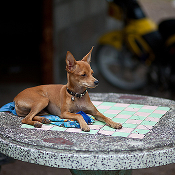 Thai Guard Dog