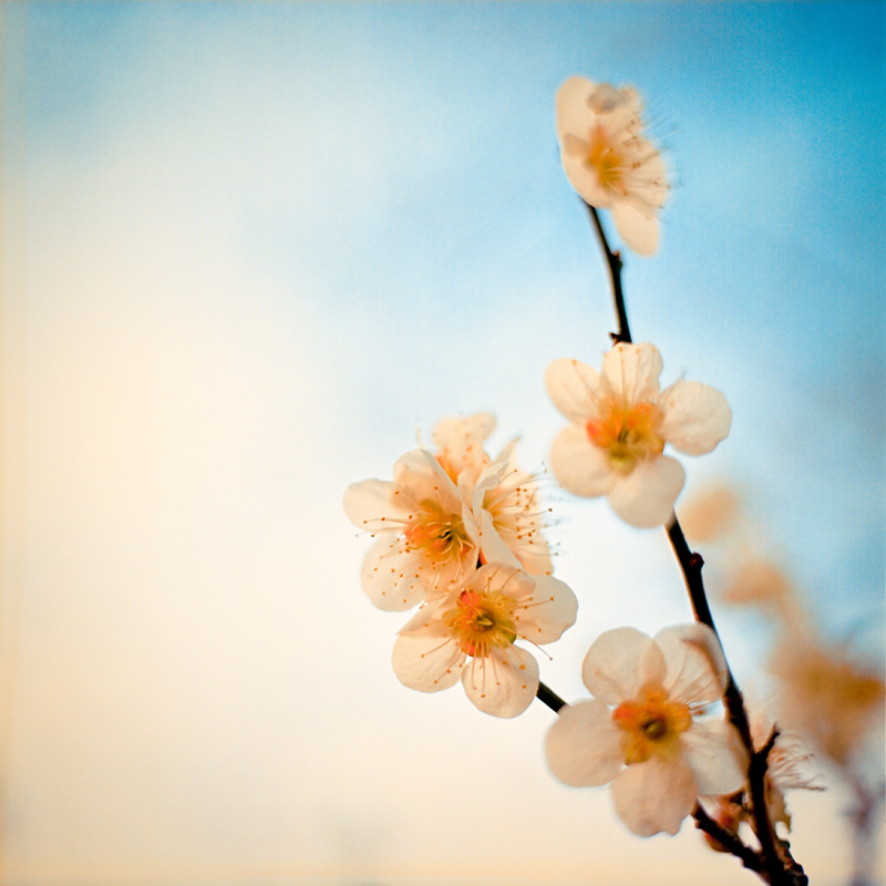 apricot blooming | ZEISS SL66 PLANAR 80MM F2.8 <br> Click image for more details, Click <b>X</b> on top right of image to close