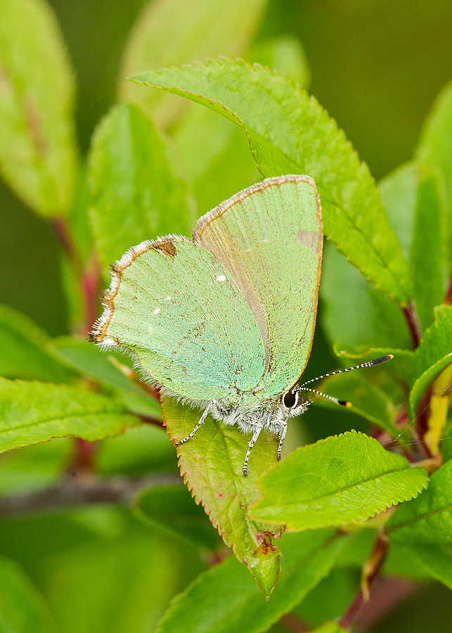 Green Hairstreak | ZEISS APO SONNAR F2 135MM <br> Click image for more details, Click <b>X</b> on top right of image to close