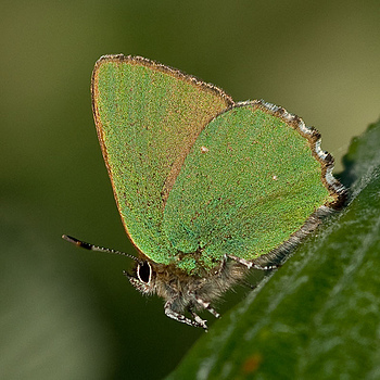 Green Hairstreak | ZEISS MAKRO PLANAR F2.0 100MM <br> Click image for more details, Click <b>X</b> on top right of image to close