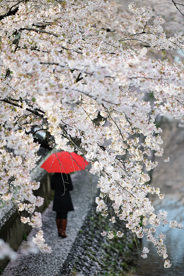 under cherry blossoms | ZEISS APO SONNAR F2 135MM <br> Click image for more details, Click <b>X</b> on top right of image to close